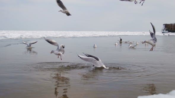 Thumbnail for Seagulls Dive Into the Water for Food