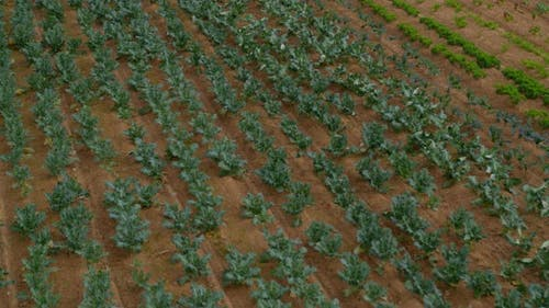 Flying Over a Green Cabbage Salad Field