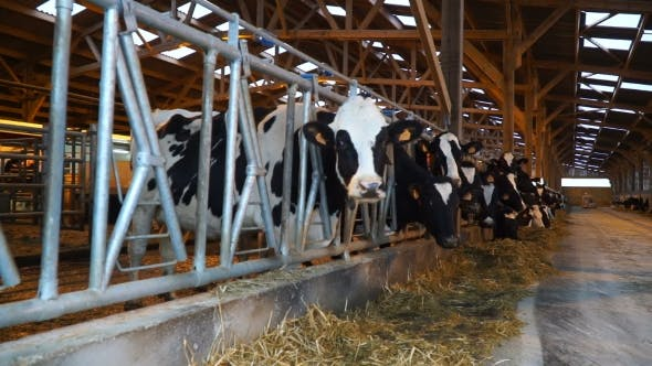 Thumbnail for Cows Eat Hay in a Barn