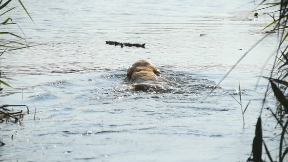 Thumbnail for Dog Breed Labrador or Golden Retriever Swimming To Get a Stick Out From a Water Lake in Nature Park