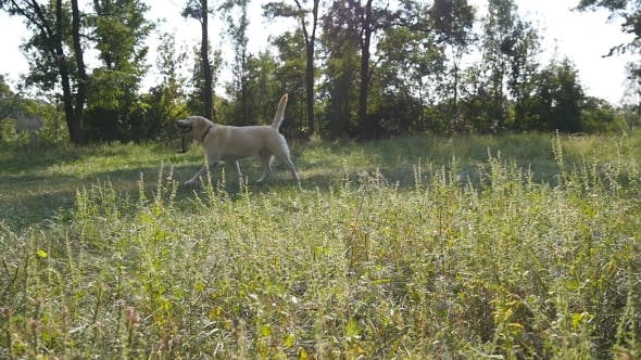 Thumbnail for Dog Breed Labrador or Golden Retriever Running with Stick in Mouth and Wagging Tail Outdoor