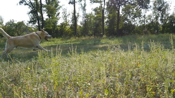 Thumbnail for Dog Breed Labrador or Golden Retriever Running To Fetch Stick Outdoor at the Field.