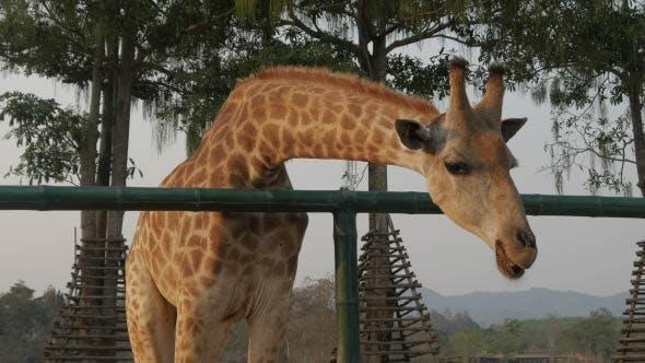 Thumbnail for Giraffe