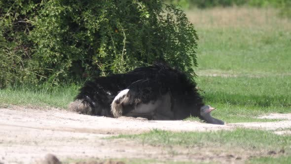 Thumbnail for Ostrich laying on the ground