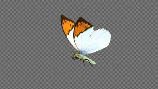 Thumbnail for Flying Butterfly - Asian Orange Tip