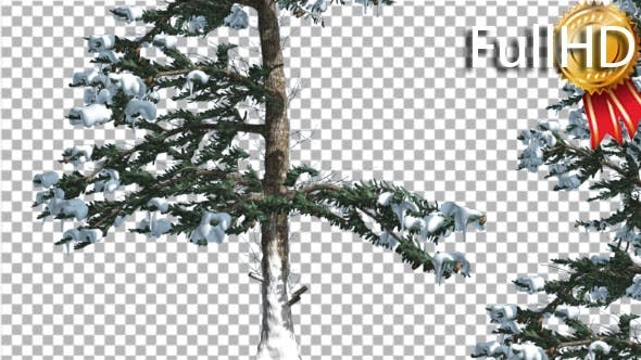 Snow on White Fir Rare Branches Coniferous