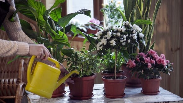 Thumbnail for Young Woman Watering Flowers Inside Home
