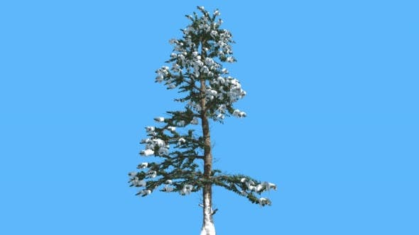 Thumbnail for White Fir Thin Tree Snow on Branches Coniferous