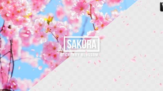 Thumbnail for Sakura | Cherry Blossom
