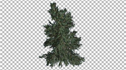White Fir Branchy Christmas Tree Coniferous