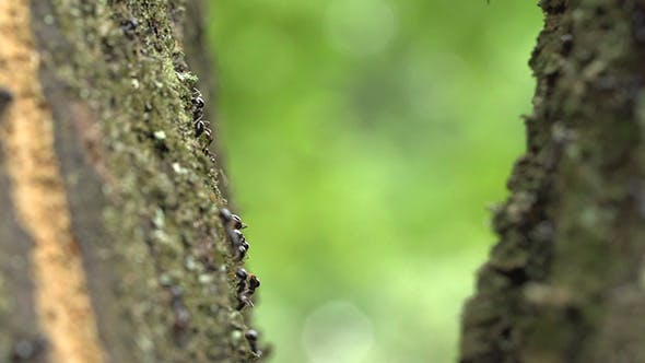 Thumbnail for Group Of Black Ants On The Tree