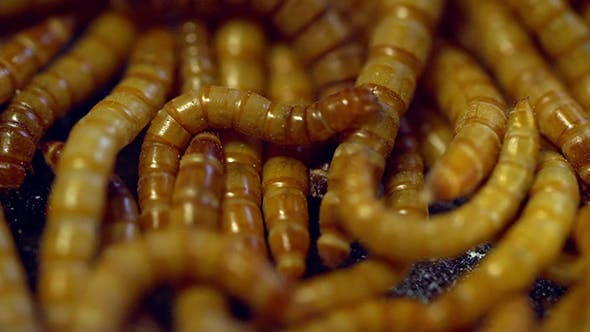 Thumbnail for Many Living Mealworms