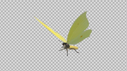 Fliegender Schmetterling - Eurasischer Schwefel