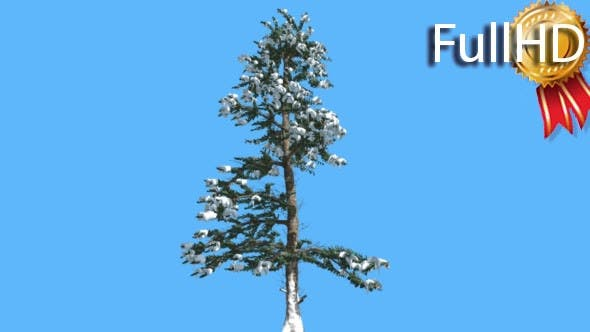 White Fir Thin Tree Snow on Branches Coniferous