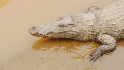 Crocodiles Resting at Crocodile Farm in Vietnam