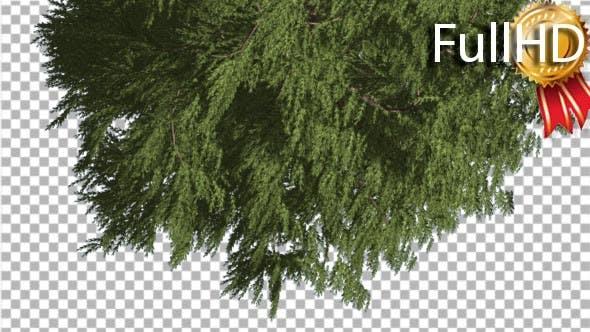 Tree is Turned Down Western Red Cedar Fluttering
