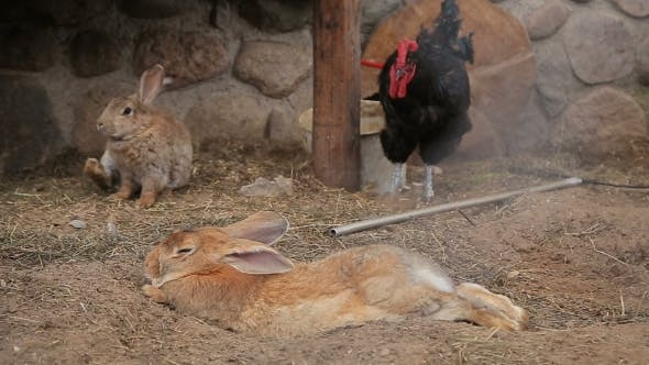 Thumbnail for Hens and Rabbits in a Coop