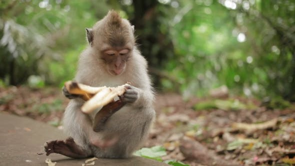Thumbnail for Little Monkey Eats Banana. Monkey Forest in Ubud, Bali, Indonesia.