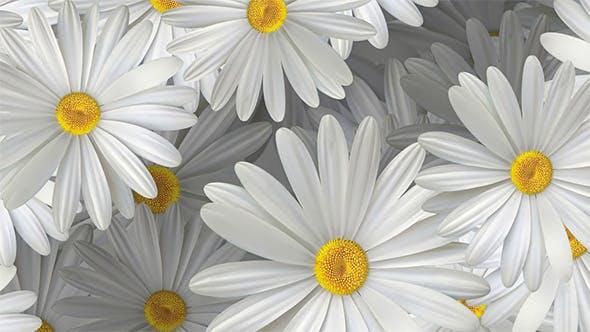 Thumbnail for White Daisy Flowers Background 4K