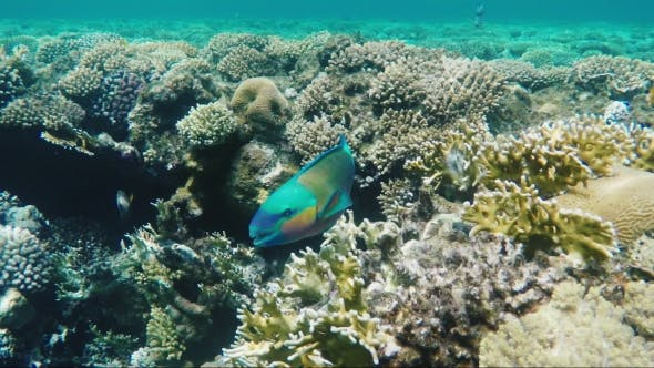 Thumbnail for A Bright Parrot Fish Sails Among the Corals of the Red Sea Amazing Diving