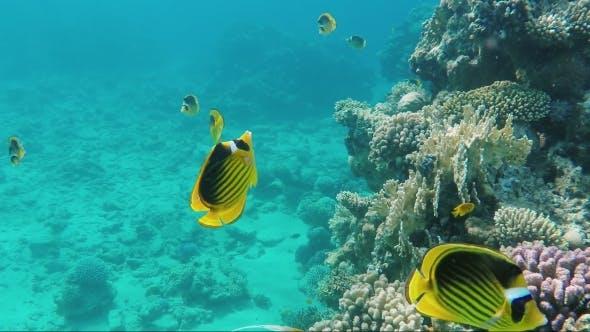 Thumbnail for Hellgelb Schmetterling Fisch des Roten Meeres Awesome Unterwasserwelt