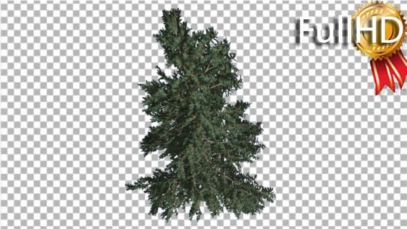 Thumbnail for White Fir Branchy Christmas Tree Coniferous