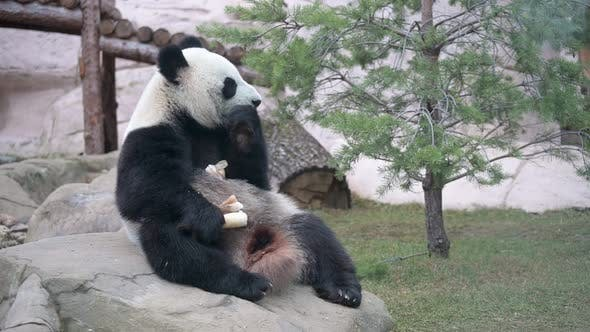 Sitting Panda and Eating Young Bamboo Shoots