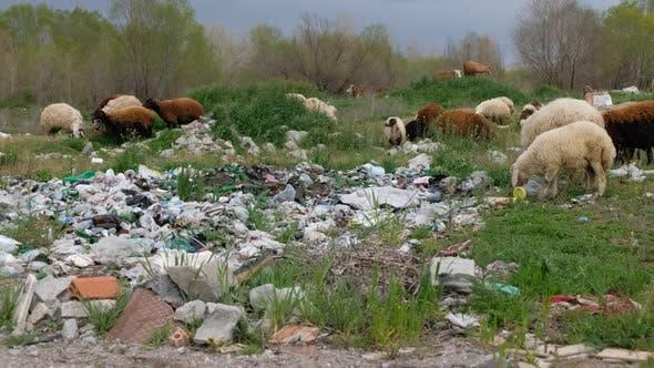 Thumbnail for Sheeps Eating Garbage