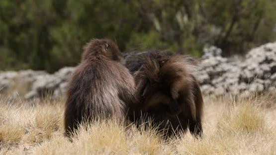 endemic Gelada baboon in Simien mountain, Ethiopia wildlife