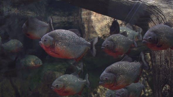 Flock of Dangerous Predatory Piranha
