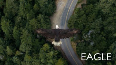 Eagle Flying Over A Forest