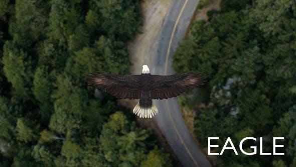 Thumbnail for Eagle Flying Over A Forest
