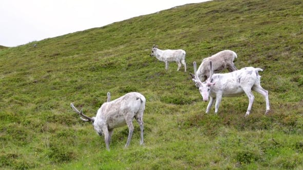 Thumbnail for Reindeer in the North of Norway, Nordkapp