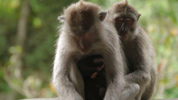 Thumbnail for Sleeping Monkeys. with Cub. Monkey Forest in Ubud Bali Indonesia.