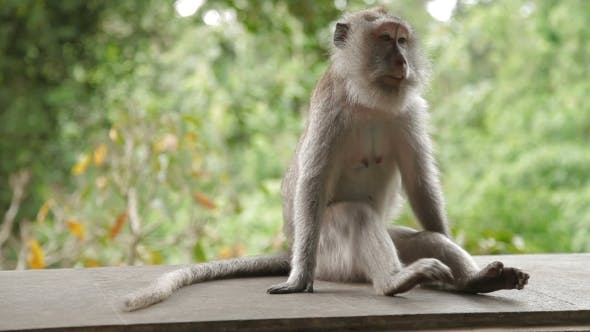 Thumbnail for Monkey Sitting on a Rock and Goes Out of Frame. Monkey Forest in Ubud. Bali Island, Indonesia.
