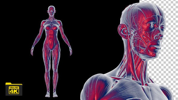 Thumbnail for Female Body Anatomy