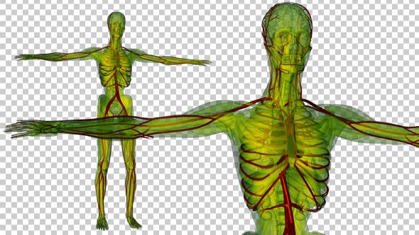Thumbnail for Human Body with Blood Vessels