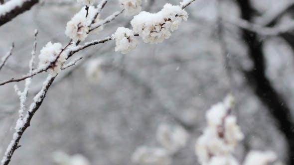 Thumbnail for Snowfall in Spring Blooming Fruit Garden