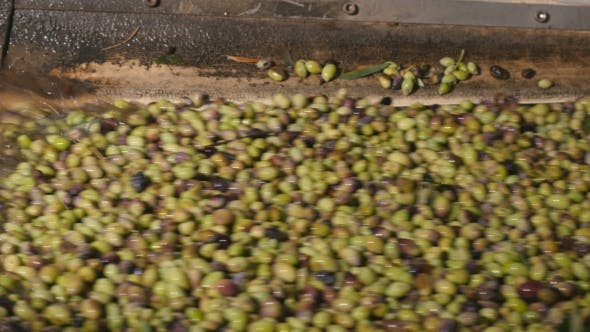 Thumbnail for Olives Washing Under the Water Before the Oil Production