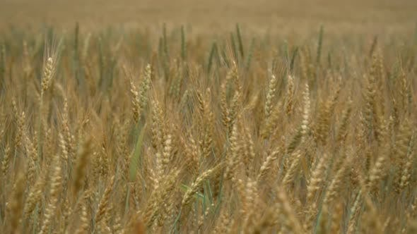 Thumbnail for Yellow Wheat On Field