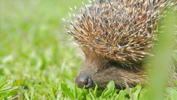 Thumbnail for Sweet Hedgehog in Nature Background. Natural Light.  View.