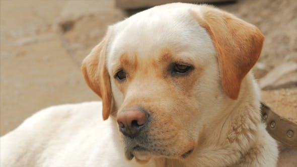 Thumbnail for A Sad Labrador or Golden Retriever Sits and Waits for His Friend.