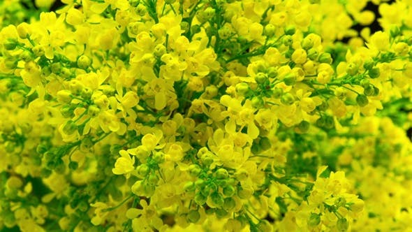 Thumbnail for Spring Yellow Flowers Bloom on the Bush.