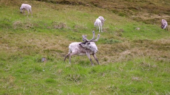 Thumbnail for Reindeer in the North of Norway, Nordkapp