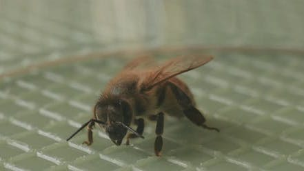 A small bee moving its feet and antennas