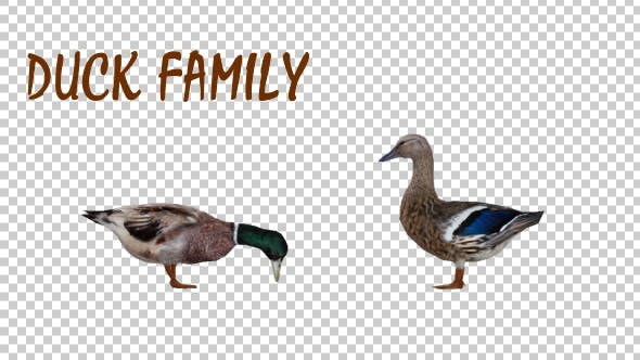 Thumbnail for Duck Family