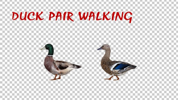 Thumbnail for Duck Pair Walking