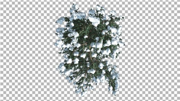 Thumbnail for White Fir Thin Top Down Snow Coniferous Evergreen