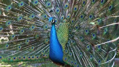 Beautify Peacock Displaying