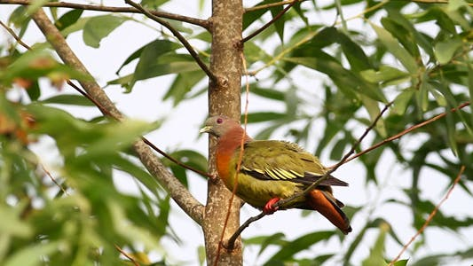 Thumbnail for Wild Pink Necked Green Pigeon Full HD II